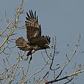 The Hawk by Ernie Echols