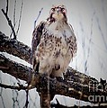 The Hawk by Jim Lepard