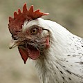 The Head Of A Rooster by John Short
