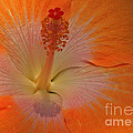 The Heart Of A Hibiscus by Kris Hiemstra