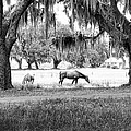 The Horses Of Coosaw Plantation by Scott Hansen