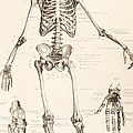 The Human Skeleton by English School