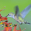 The Humming Bird Sips  by Jeff Swan