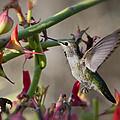 The Hummingbird And The Slipper Plant  by Saija  Lehtonen