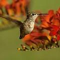 The Hummingbird Turns   by Jeff Swan