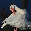 The Ibis Preen by Deborah Benoit