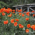 The Inspiration Of Orange Poppies by Barbara McMahon