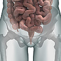 The Intestines by Science Picture Co