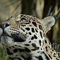 The Jaguar's Gaze by Mickey At Rawshutterbug