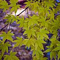 The Japanese Maple by Breanna Calkins