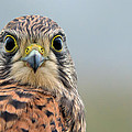 The Kestrel Face To Face by Torbjorn Swenelius