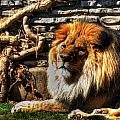 The King Lazy Boy At The Buffalo Zoo by Michael Frank Jr