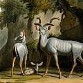 A Kudus Or Kudu by Samuel Daniell