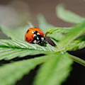 The Ladybug And The Cannabis Plant by Stock Pot Images