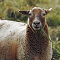 Feed My Sheep by CE Haynes