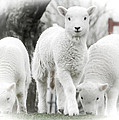 the Lamb is watching by Path Joy Snyder