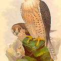 The Lanner Falcon by Vintage File Collection