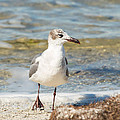 The Laughing Gull Strut by John M Bailey