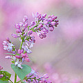 The Lilac by Kay Pickens