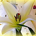 The Lily by Kathy Barney