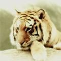 The Lion At Rest by Amanda Struz