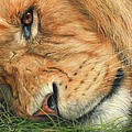 The Lion Sleeps by David Stribbling