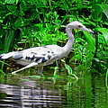 The Little Blue Heron by Gary Keesler