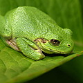 The Little Frog by James Peterson