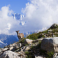 The Little Ibex by Mircea Costina Photography