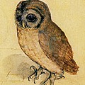 The Little Owl by Albrecht Durer