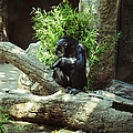The Lone Chimp by Holly Blunkall