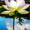 The Lotus Blossom by Jon Woodhams