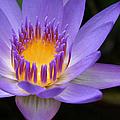 The Lotus Flower - Tropical Flowers Of Hawaii - Nymphaea Stellata by Sharon Mau