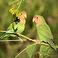 The Lovebirds  by Saija  Lehtonen