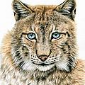 The Lynx by Nicole Zeug