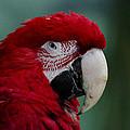 The Macaw by Lukasz Hradecki