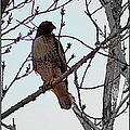 The Majestic Hawk by Bobbee Rickard