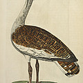 The Male Bustard by British Library