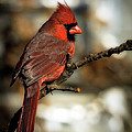 The Male Northern Cardinal by Lana Trussell