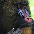 The Mandrill by Dan Sproul