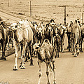 The March Of The Camels by Joveria Wajih