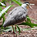The Masked Lapwing Vanellus Miles Previously Known As The Mask by Alex Grichenko