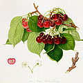 The May Duke Cherry by William Hooker