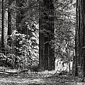 The Mighty Redwood by Hal Norman K