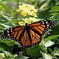 The Monarch by Barbara S Nickerson