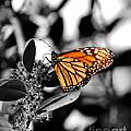 The Monarch by Jai Johnson