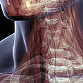 The Muscles Of The Neck by Science Picture Co
