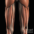 The Muscles Of The Upper Legs Rear by Science Picture Co
