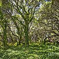 The Mysterious Forest - The Magical Trees Of The Los Osos Oak Reserve. by Jamie Pham