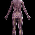 The Nervous And Skeletal Systems Female by Science Picture Co
